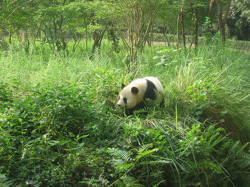 Giant Panda in Bifengxia Valley