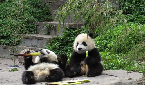 Play with Pandas in Bifengxia Valley this Summer