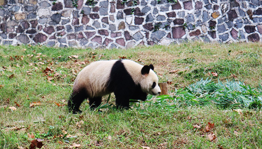 Travel with Wing: 1 Day Panda Volunteer Tour