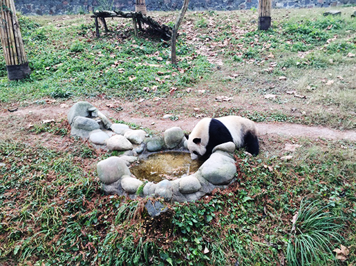 Travel with Vivien: 1 Day Panda Volunteer Tour in Dujiangyan Panda Base