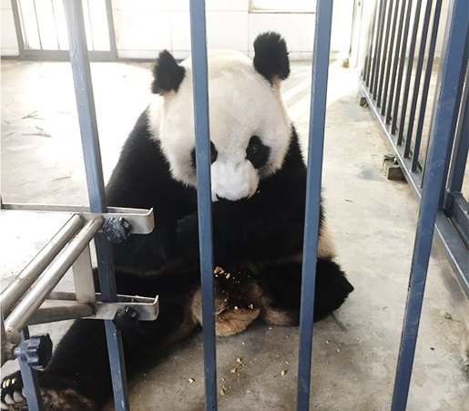 Dujiangyan Panda Volunteer Tour