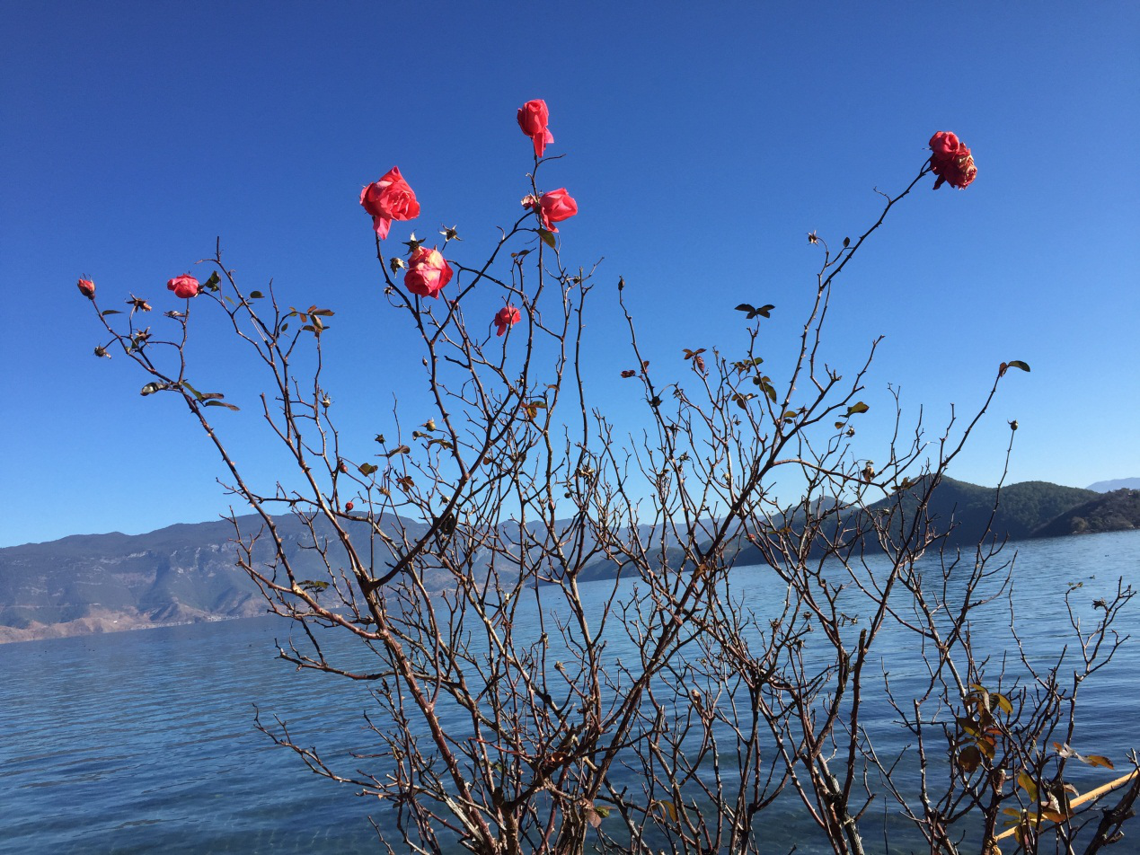 Beautiful Wild Roses by the Lake